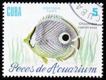 Aquariumfische Chaetodon-capistratus, circa 1985 Lizenzfreies Stockfoto