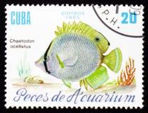 Aquariumfische Chaetodon-ocellatus, circa 1985 Lizenzfreie Stockfotos