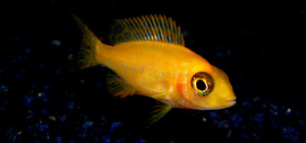 Aquariumfische von Afrika Stockfotos