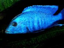 Aquariumfische von Afrika Lizenzfreies Stockfoto
