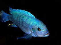 Aquariumfische von Afrika Stockfotografie