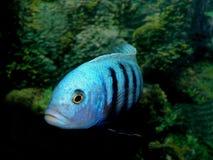 Aquariumfische von Afrika Lizenzfreie Stockfotos