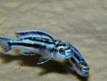 Aquariumfische von Afrika Stockfoto