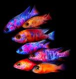 Aquariumfische von Afrika Stockbild