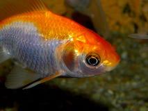 Aquariumfische von Asien Goldfish Lizenzfreies Stockfoto