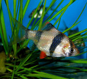 Aquariumfische von Asien Puntius Stockfotos