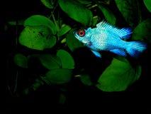Aquariumfische von Südamerika Microgeophagus ramirezi - Frischwasserfisch im Aquarium Lizenzfreie Stockfotos
