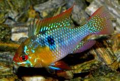 Aquariumfische von Südamerika Microgeophagus ramirezi - Frischwasserfisch im Aquarium Lizenzfreie Stockbilder