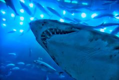 Aquariumhaifisch Stockfoto