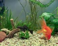 Aquariuminwoners Stock Afbeelding