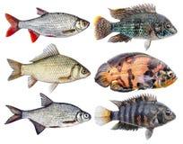 Aquariumvissen cichlids, blauwe acara Zoetwater geïsoleerd tropisch Royalty-vrije Stock Foto's