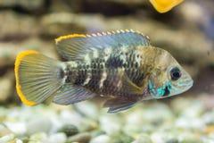 Aquariumvissen dwergcichlid Apistogrammanijsseni is species van cichlidvissen, endemisch aan hoogst beperkt lokaal zwart water Ha stock afbeelding