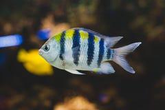 Aquariumvissen - sergeantmajoor of pÃntano royalty-vrije stock afbeeldingen