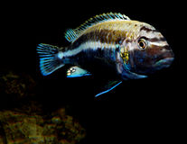 Aquariumvissen van Afrika Stock Foto
