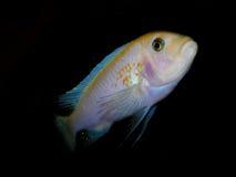 Aquariumvissen van Afrika Royalty-vrije Stock Afbeeldingen
