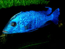 Aquariumvissen van Afrika Royalty-vrije Stock Fotografie