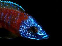 Aquariumvissen van Afrika Stock Afbeelding