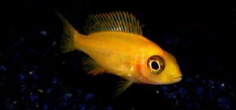 Aquariumvissen van Afrika Stock Foto's