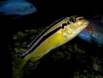 Aquariumvissen van Afrika Royalty-vrije Stock Afbeelding
