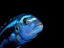 Aquariumvissen van Afrika Stock Afbeeldingen