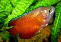 Aquariumvissen van Azië Stock Afbeeldingen