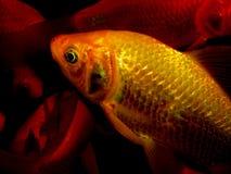 Aquariumvissen van Azië Goudvis Royalty-vrije Stock Foto's