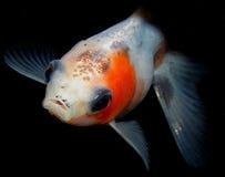 Aquariumvissen van Azië Goudvis Stock Foto