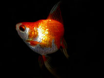 Aquariumvissen van Azië Goudvis Stock Foto's