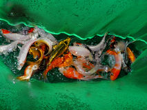 Aquariumvissen van Azië Goudvis Royalty-vrije Stock Afbeeldingen