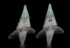 Aquariumvissen van Azië Sterlet Stock Foto's
