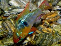 Aquariumvissen van Zuid-Amerika Ram Cichlid Royalty-vrije Stock Afbeeldingen