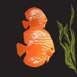 Aquarius fish - discus Stock Photo
