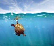 aquasköldpadda Arkivfoto