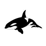 Aquatic Animals Killer Whale Drawing Illustration Stock Photo