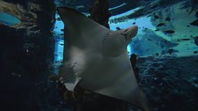 Aquatic animals in zoo, stingrays are swimming among fish in big aquarium with marine nature in clear water stock video footage