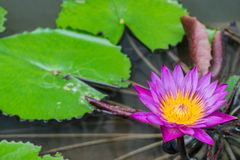 Water lilly in the pond royalty free stock photos