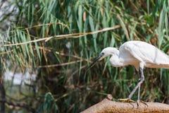 Aquatic bird Royalty Free Stock Images