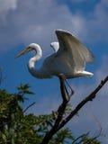 Aquatic bird Royalty Free Stock Image