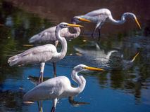 Aquatic bird. Aquatic white bird on water - Heron - Brazil stock photography