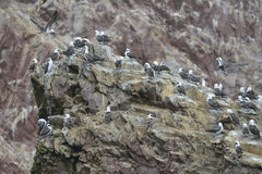 Aquatic birds, Ballestas islands, Peru Royalty Free Stock Images