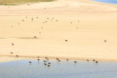 Aquatic birds near the water's edge, Rodrigues Island Stock Images
