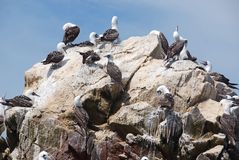 Aquatic birds. At Paracas National Reservation, or the Peruvian Galapagos. At the reserve there are the Islas Ballestas, islands which are off limits to people stock image