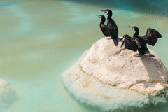 Aquatic birds on a rock Stock Images