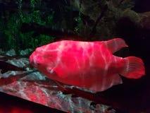 Fish. Aquatic cranite animals big head formal taxonomy, beautiful image of a fish stock photos