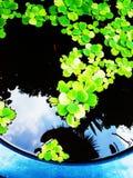 Aquatic ferns Stock Photos