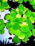 Aquatic ferns Stock Photo