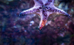 Aquatic Fish Swimming Royalty Free Stock Photography