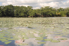 Aquatic flowers at isla de las flores on river Dulce near Livin. Gston on Guatemala Stock Photo