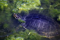 Aquatic Freshwater Turtle (2) Stock Photography