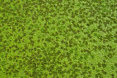 Aquatic green weed texture Stock Photo